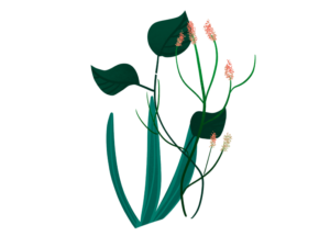 Illustration of a plant with dark green leaves and pink flowers